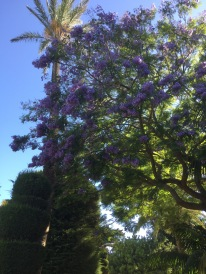 A jacaranda in a park in Cadiz! It even was losing blossoms which made the pathway slippery and dangerous! Awwww, memories. Luke said that as kids they used to squirt the sticky jacaranda juice at each other. So Aussie.