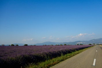 Incredible lavender fields in Provence, France. It smelled so good it almost smelled bad.