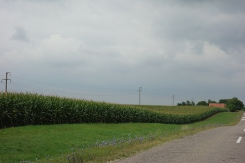 Undulating corn fields