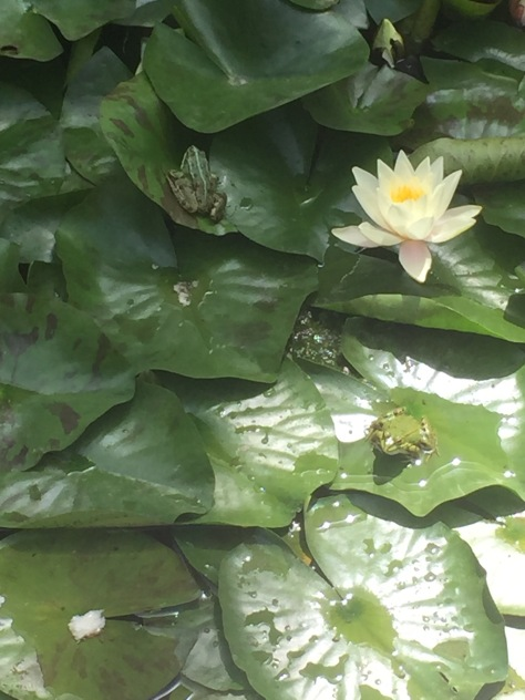 Frogs in a lily pad in palace gardens.