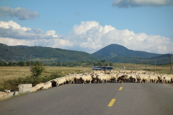 And lots of sheep to wait for, too.