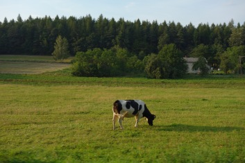 We've left Krakow now, and here's a cow to prove it.