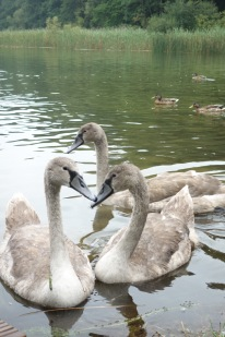 And baby swans! They don't look very baby, but they chirped like chicks.