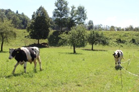 Look at how much the cows love Alma's mom. They are so excited.