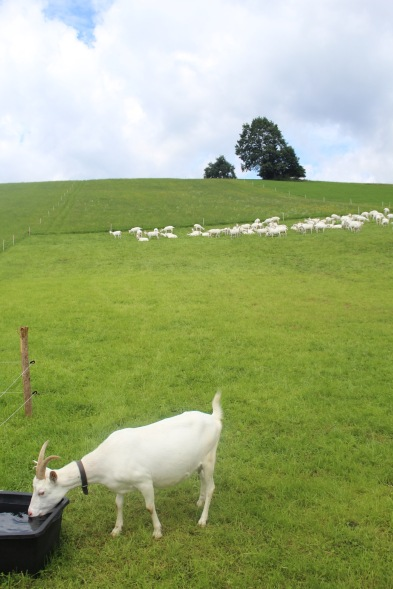 There were goats!