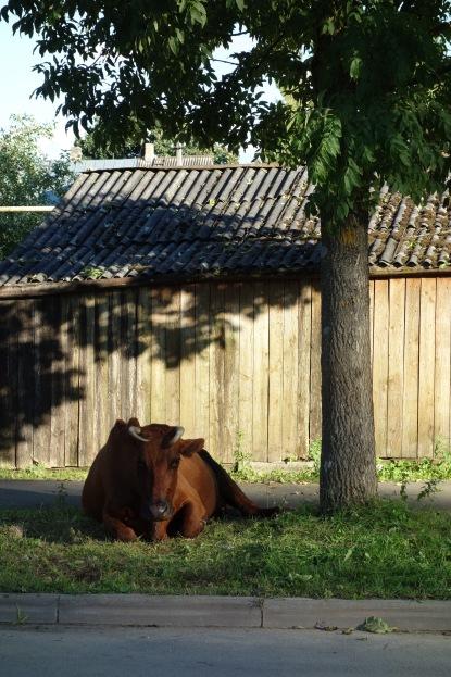 Cow on the quiet suburban street.