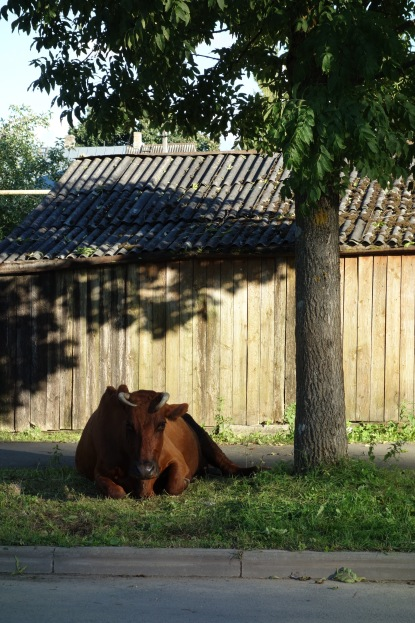 Cow on the quiet suburban street.