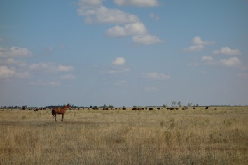 There are also, in alignment with popular belief, horses in Kazakhstan. We were wondering why there were herds (flocks? groups? pods?) of horses, until we realised that people eat them.