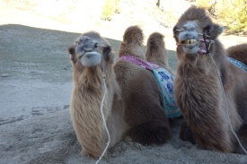 Camels at Terelj making funny faces for the camera. Perhaps they've been trained specially for instagram-ableness