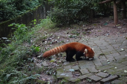 They also had Red Pandas there!