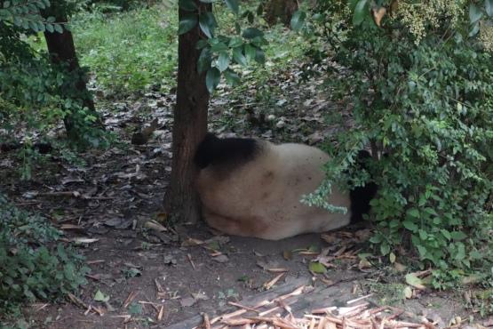 Panda butt.