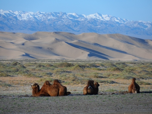 Our camels!