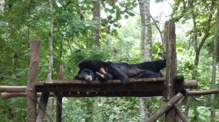 Unexpected friends on our waterfall exhibition - sun bears! There's a small sun bear rescue centre by the waterfall, called Free The Bears.