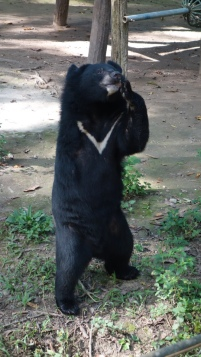 They had been rescued from poachers or bile farms (they keep them in tiny cages and harvest their BILE for medicine). This little guy lost an arm in a trap, but don't feel too bad for him. He was swinging around his rope and platform structures like a pro.