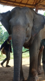 Mahouts are traditional elephant trainers, who are paired with the same elephant for many years - sometimes decades.
