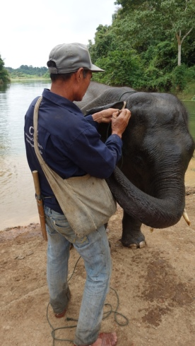 Baby Surya is hilarious. Here, he's trying to get his trunk into his mahout's shoulder bag. There are bananas in there.