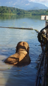 One of the elephants waits for a bath from her mahout