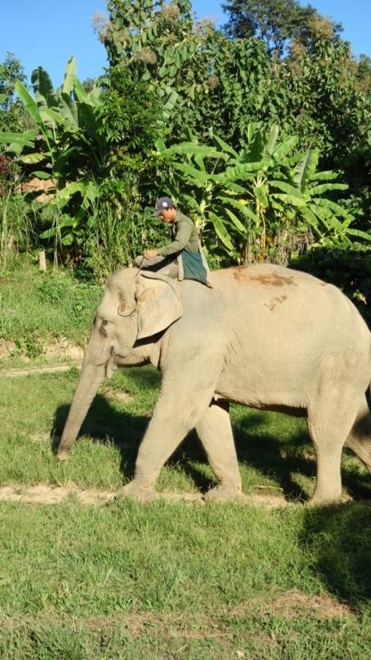 A mahout rides his elephant's neck.