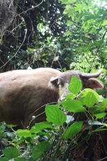 """Our guide grew up in the jungle not far from here, but when he saw this water buffalo he jumped and screamed. Not cause the guy's dangerous, he was just really sneaky and hiding behind bushes. Just look at him, he's like, """"you can't see me. I'm invisible."""" Wily water buffalo!"""