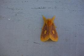 A silly fuzzy moth