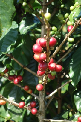Coffee beans, nice and red and ready to harvest!